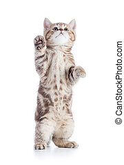 Funny cat isolated looking up - Funny cat or kitten standing...