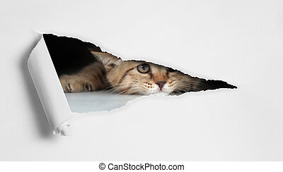Funny cat looking through hole in paper isolated