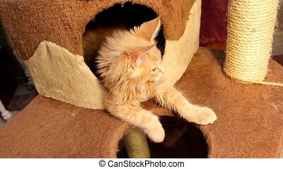 Funny cat Maine Coon