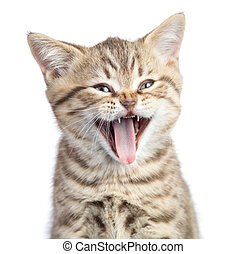 Funny cat portrait yawning with open mouth isolated