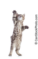 Funny cat standing isolated on white