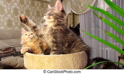 Funny cats Maine Coons playful