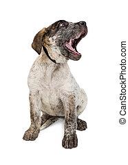Funny Cattle Dog Puppy Yawning