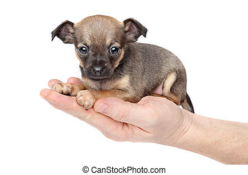 Chihuahua puppy in hand