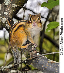 Funny chipmunk sitting on tree branch and looking at camera