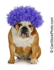 funny clown dog - english bulldog wearing purple clown wig on white background
