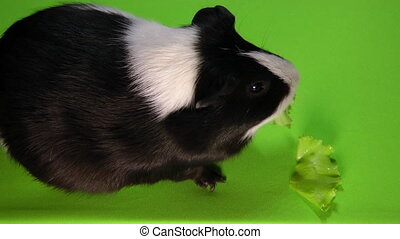 Funny colorful guinea pig sitting on a green screen and eating green salad