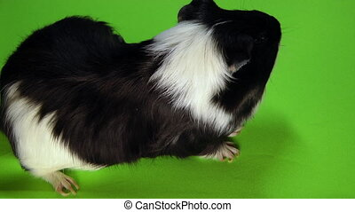 Funny colorful guinea pig sitting on a green screen.