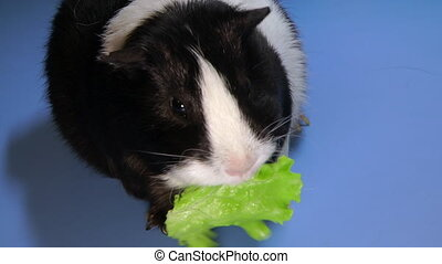 Funny colorful guinea pig sitting on the table and eating green salad