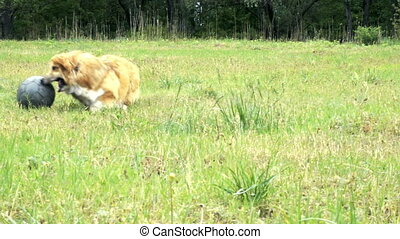 funny corgi fluffy dog playing with the ball outdoors
