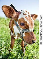 Funny cow portrait