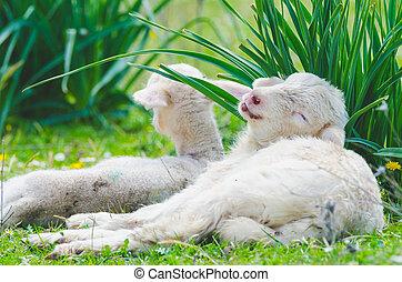 Funny cute little lamb resting in a meadow