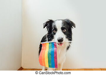 Funny cute puppy dog border collie holding LGBT rainbow flag in mouth on white background at home indoor. Dog Gay Pride portrait. Equal rights for lgbtq community concept.
