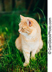 Red Cat Playing in Green Spring Grass In Garden