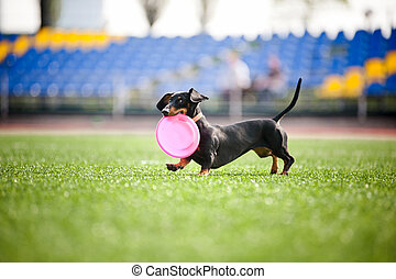 dachshund dog brings the flying disc