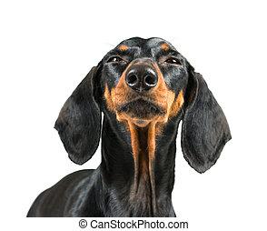 Funny dachshund dog.