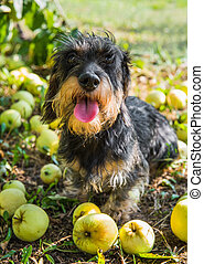 Funny dachshund dog on a walk under a tree with apples.