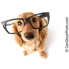 Funny dachshund. - Funny little dachshund wearing glasses ...