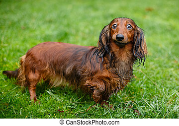Funny dachshund standing grass