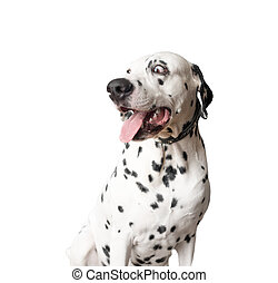 Funny dalmatian dog ??with tongue hanging out.