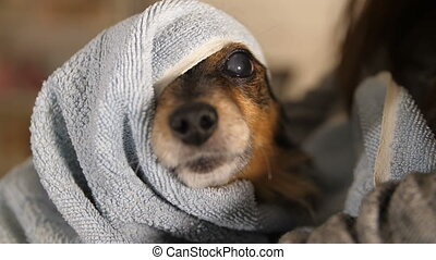 Funny Dog After Bathing Wrapped in a Towel