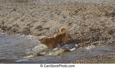 Funny dog barking at the waves and trying to bite water...