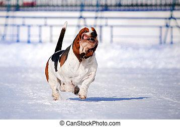 funny dog basset hound