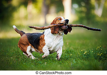 cute funny dog running on the grass with stick