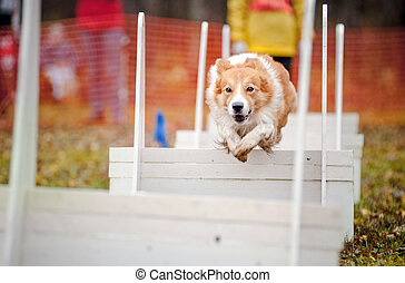 funny dog border collie jumping