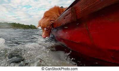 Funny dog catches water. Slow motion. Nova Scotia Duck ...