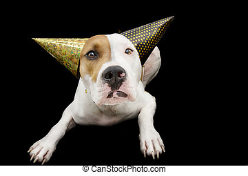 Funny dog celebrating new year or birthday wearing two party hats. Isolated on gray background.