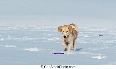Funny dog chasing dog toy ring outside in snow