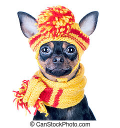Funny dog ??in a knitted cap and scarf, portrait of a macro isolated.