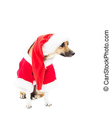funny dog in Christmas costumes