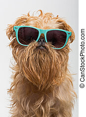 Funny dog in glasses - Dog breed Brussels Griffon in dark ...
