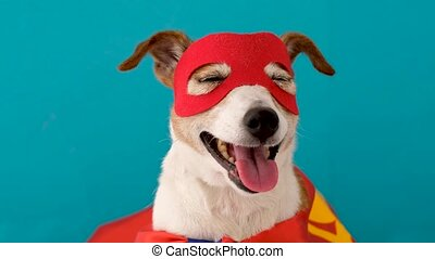 Funny dog in superhero costume - Cute cheerful Jack Russell ...