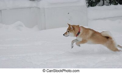 Funny dog is playing on snowy meadow. - Happy shiba is...