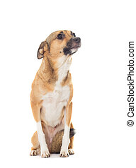 funny dog isolated on white background