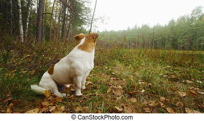 Funny dog jack russell terrier sits in the forest and waiting for his owner.