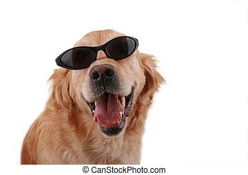 Laugh funny retriever dog with sunglasses