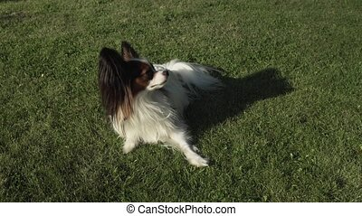 Funny dog of the breed Papillon playing on green lawn stock footage video