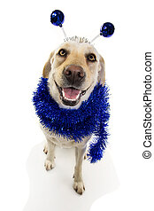FUNNY DOG PARTY. BIRTHDAY, CARNIVAL, OR NEW YEAR. LABRADOR RETRIEVER WITH A HEADBAND O DIADEM WITH BLUE DISCO BALL BOPPERS LIKE A ALIEN AND A TINSEL GARLAND. ISOLATED AGAINST WHITE BACKGROUND.
