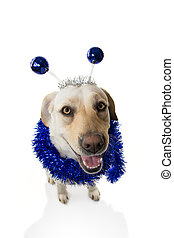 FUNNY DOG PARTY. BIRTHDAY OR NEW YEAR. LABRADOR RETRIEVER WITH A HEADBAND O DIADEM WITH BLUE DISCO BALL BOPPERS LIKE A ALIEN AND A TINSEL GARLAND. ISOLATED SHOT AGAINST WHITE BACKGROUND.
