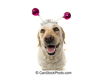 FUNNY DOG PARTY. LABRADOR WEARING A HEADBAND O DIADEM WITH PINK DISCO BALL BOPPERS.