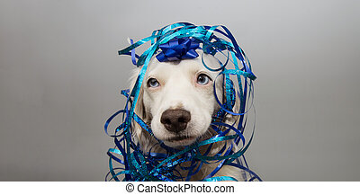 Funny dog party. Puppy celebrating birthday, anniversary, carnival or new year with a blue ribbon on head and serpentine. Isolated on gray background.