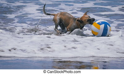 Funny dog playing with colored ball in the waves on the ocean. cute pets jumping on his toy and tries to catch it. Blue clean water on the background. Slow motion.