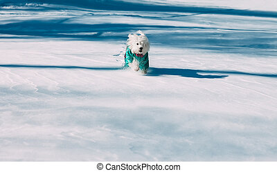 Funny dog running in snow on winter park