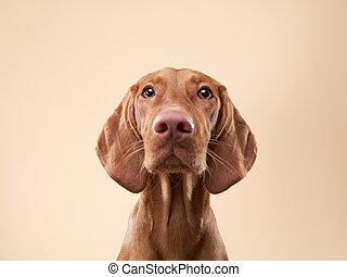 funny dog shows tongue. Hungarian vizsla in studio