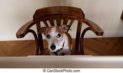 Funny dog sitting at laptop and looking at camera