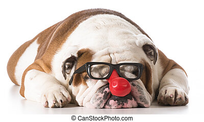 funny dog - dog wearing clown glasses on white background -...